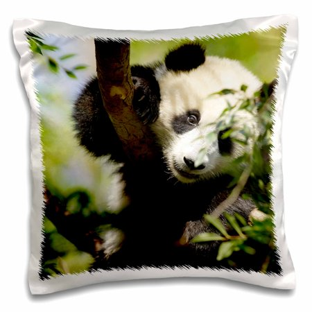 3dRose Giant Panda bear, Research station, San Diego Zoo CA - US05 MPR0038 - Maresa Pryor - Pillow Case, 16 by 16-inch for $<!---->