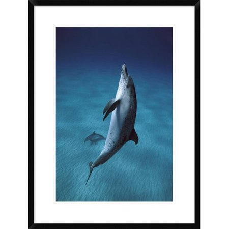 Global Gallery Atlantic Spotted Dolphin Pair Swimming Underwater  Little Bahama Bank  Bahamas  Caribbean Framed Photographic Print