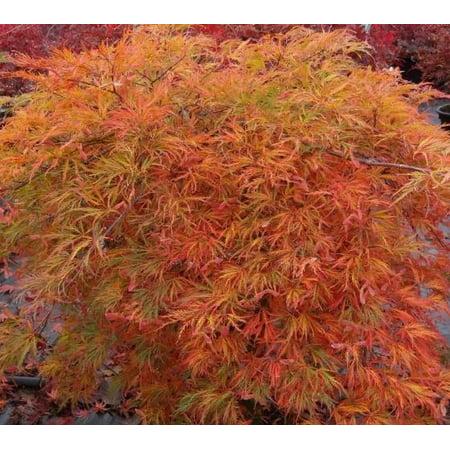 Orangeola Weeping Laceleaf Japanese Maple Tree - 2-3 Year Graft - ( TG )