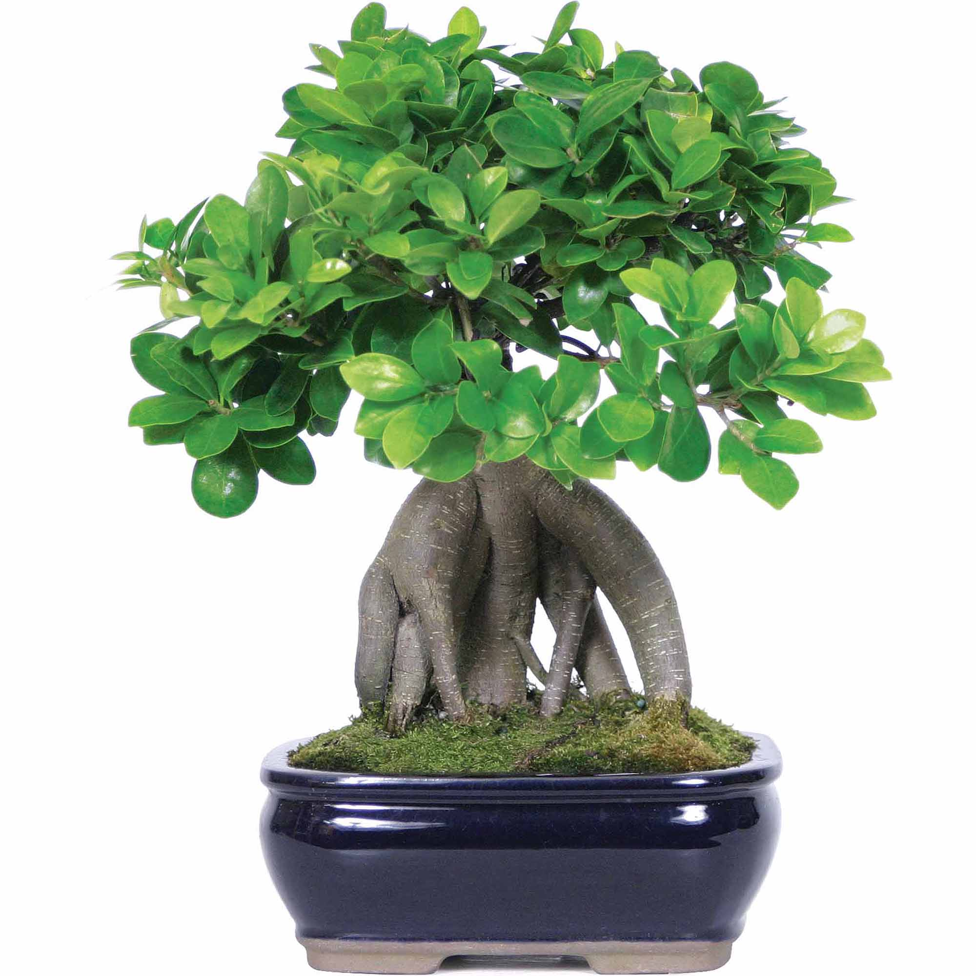 Ginseng Grafted Ficus Bonsai Tree by Brussel's Bonsai