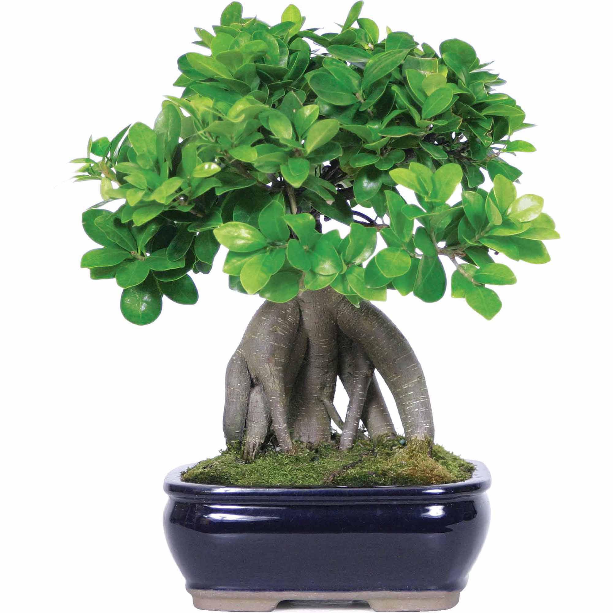 Ginseng Grafted Ficus Bonsai Tree - Walmart.com