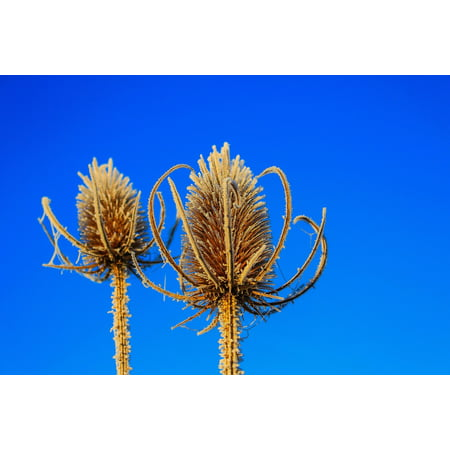 LAMINATED POSTER Prickly Winter Spur Close Plant Pointed Ice Poster Print 24 x 36 (Pointed Antique Ice)