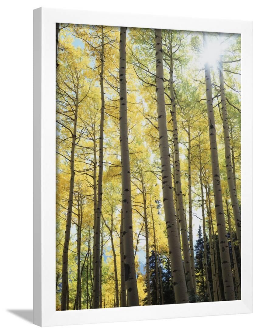 Colorado, San Juan Mts, Uncompahgre Nf, Fall Colors of an Aspen ...