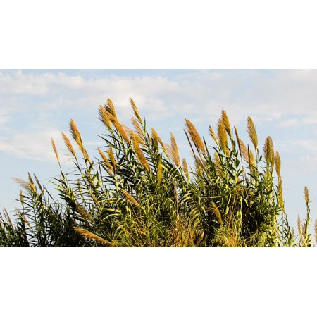 LAMINATED POSTER Rural Plant Countryside Reed Flora Nature Poster Print 24 x 36