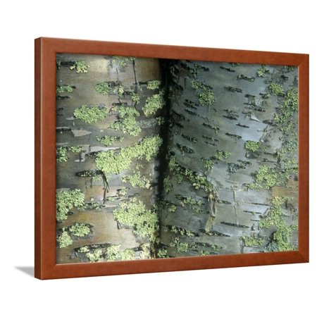 Lichens Growing on the Bark of Paper Birch Trees, Betula Papyrifera, USA Framed Print Wall Art By Joe McDonald - Birch Bark Paper