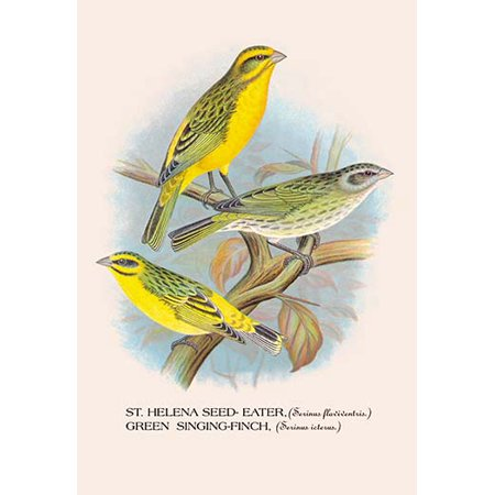 St. Helena Seed-Eater; Green Singing-Finch Fine art canvas print (20