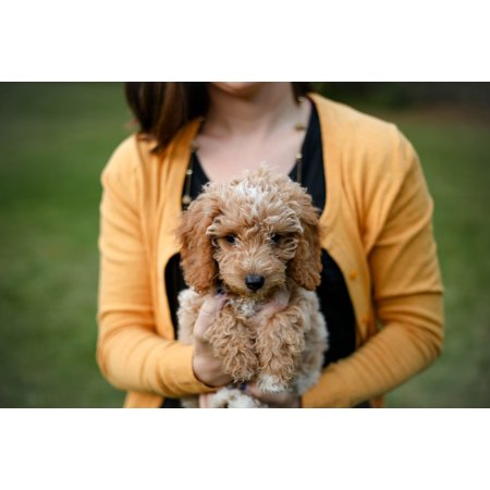 - Laminated Poster Woman Carrying Tan Poodle Puppy Poster Print 24 x 36