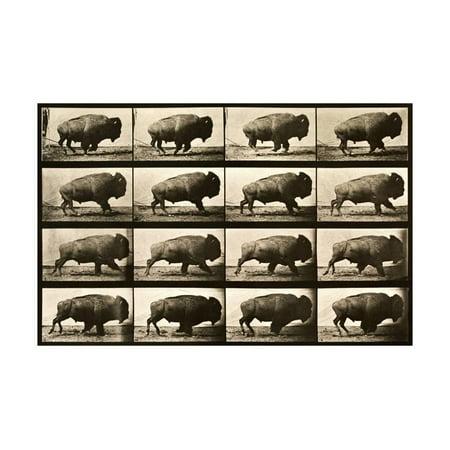 Buffalo Running, Animal Locomotion Plate 700 Print Wall - Plate Wall Art