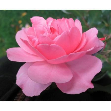 Bonica® Shrub Rose Bush - 4
