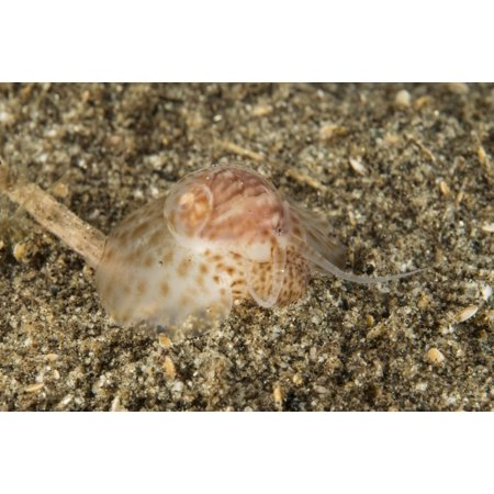 Brown and white gastropod crawling on the sandy bottom hunting for food Canvas Art - Mathieu MeurStocktrek Images (34 x 23)