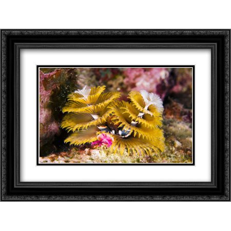 Christmas Tree Worm filter feeding while attached to Great Star Coral, Bonaire, Netherlands Antilles 2x Matted 24x18 Black Ornate Framed Art Print by Oxford, Pete ()