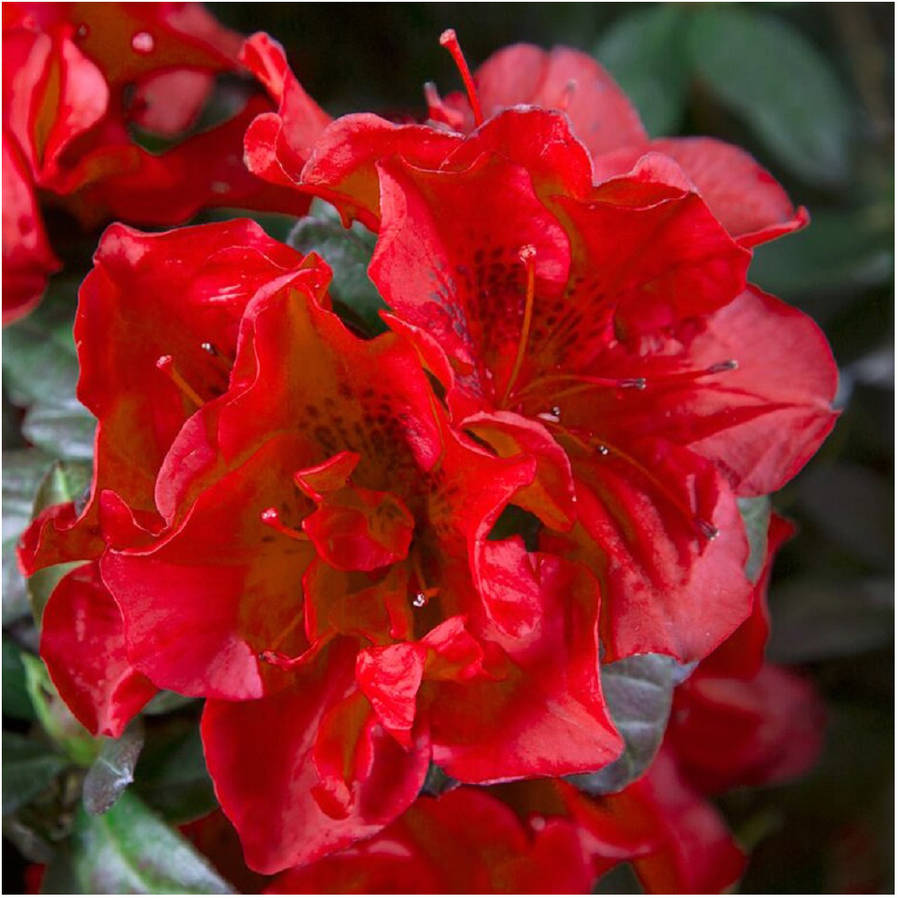 Encore Azalea Autumn Fire, True Red Semi-Double Blooms