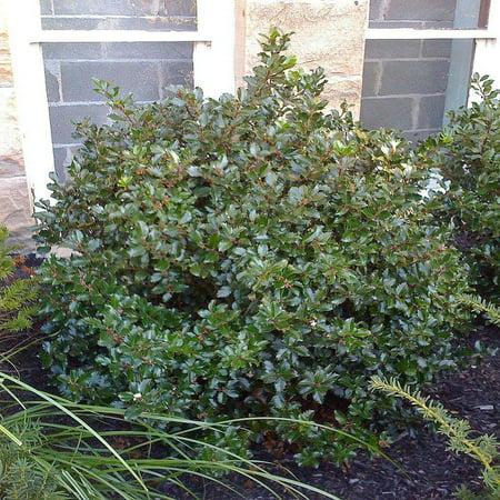 Evergreen Holly (Blue Prince Holly - Ilex - Hardy Broadleaf Evergreen - 4