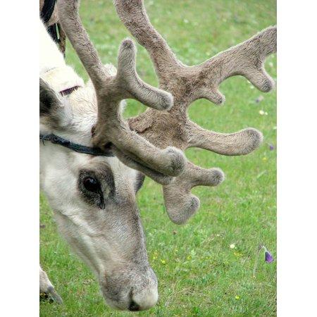 Canvas Print Animals Antlers Meadow Sasanka Horns Reindeer Stretched Canvas 10 x 14](Reindeer Horns)