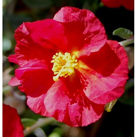 Hartswood Ruby Sun Rose   Helianthemum   Quart Pot