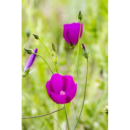 Wine Cup Wildflowers Near Johnson City, Texas, Usa Print Wall Art By Chuck Haney - Party City Near By