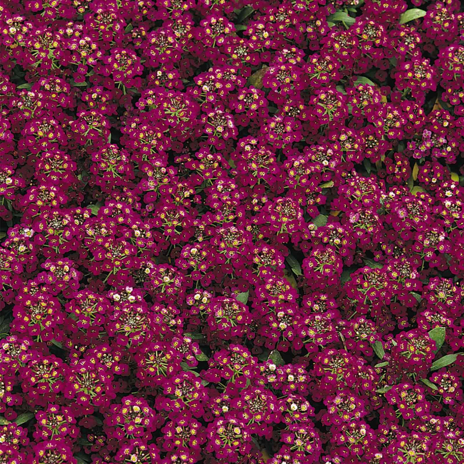 Alyssum Easter Bonnet Seeds - Color: Violet - Approx 5000 Annual Flower Garden Seeds - Lobularia maritima