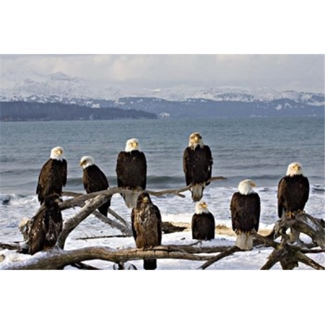 Danita Delimont PDDAF45CSL0004B Bald Eagles in Winter Homer Alaska Poster Print by Charles Sleicher, 18 x 12 - image 1 of 1