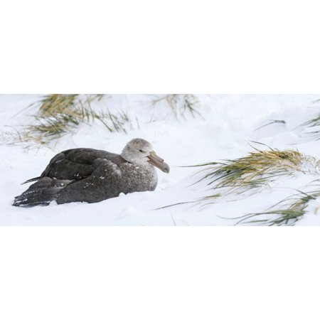 Close-up of Southern Giant Petrel (Macronectes giganteus) and Snow Tussock grass Salisbury Plain South Georgia Island Stretched Canvas - Panoramic Images (27 x (South Plain Mall)