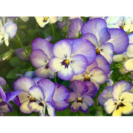 Canvas Print Viola Close Up Pansy Pansies Flowers Spring Macro