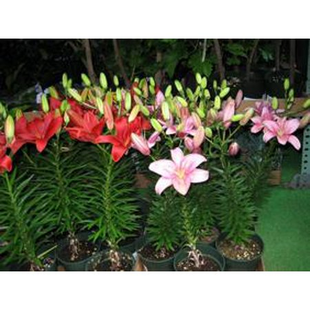 Image of Hawaii Live Plants 5 Inch Lily Calla
