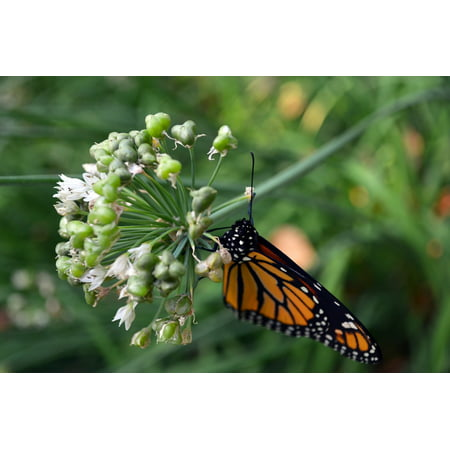 LAMINATED POSTER Butterfly Macro Monarch Wings Insect Nature Poster Print 24 x 36