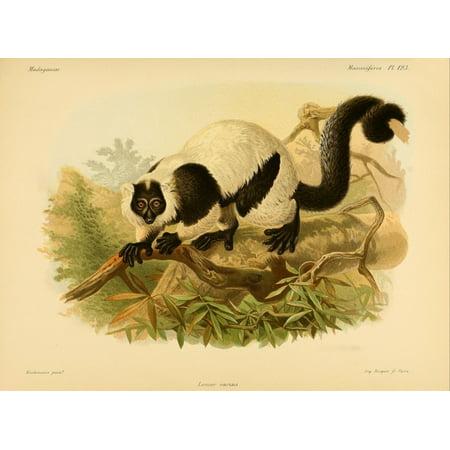 Natural History of Madagascar 1885 Black & White Ruffed Lemur Canvas Art - JG Keulemans (18 x 24)