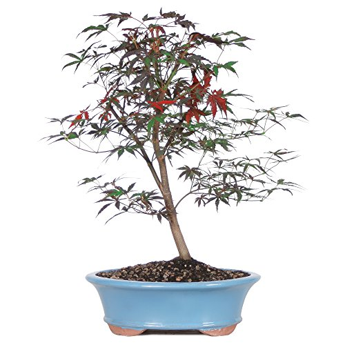 BRUSSEL'S BONSAI Japanese Red Maple