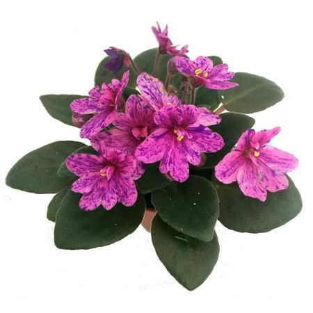Miniature African Violet - 1 Plant/2