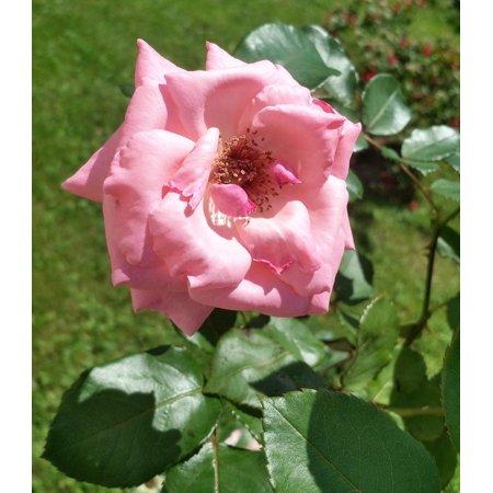 LAMINATED POSTER Leaf Rosa Flower Spring Plant Flowers Garden Poster Print 24 x 36