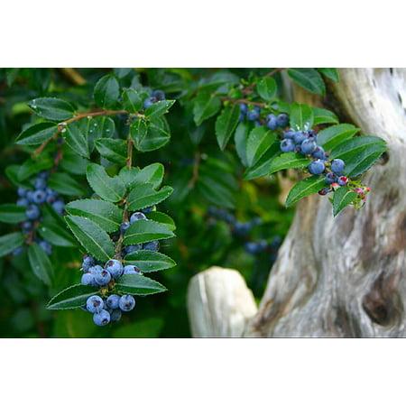 Evergreen Huckleberry   Blueberry Like Fruit   4   Pot   Vaccinium Ovatum