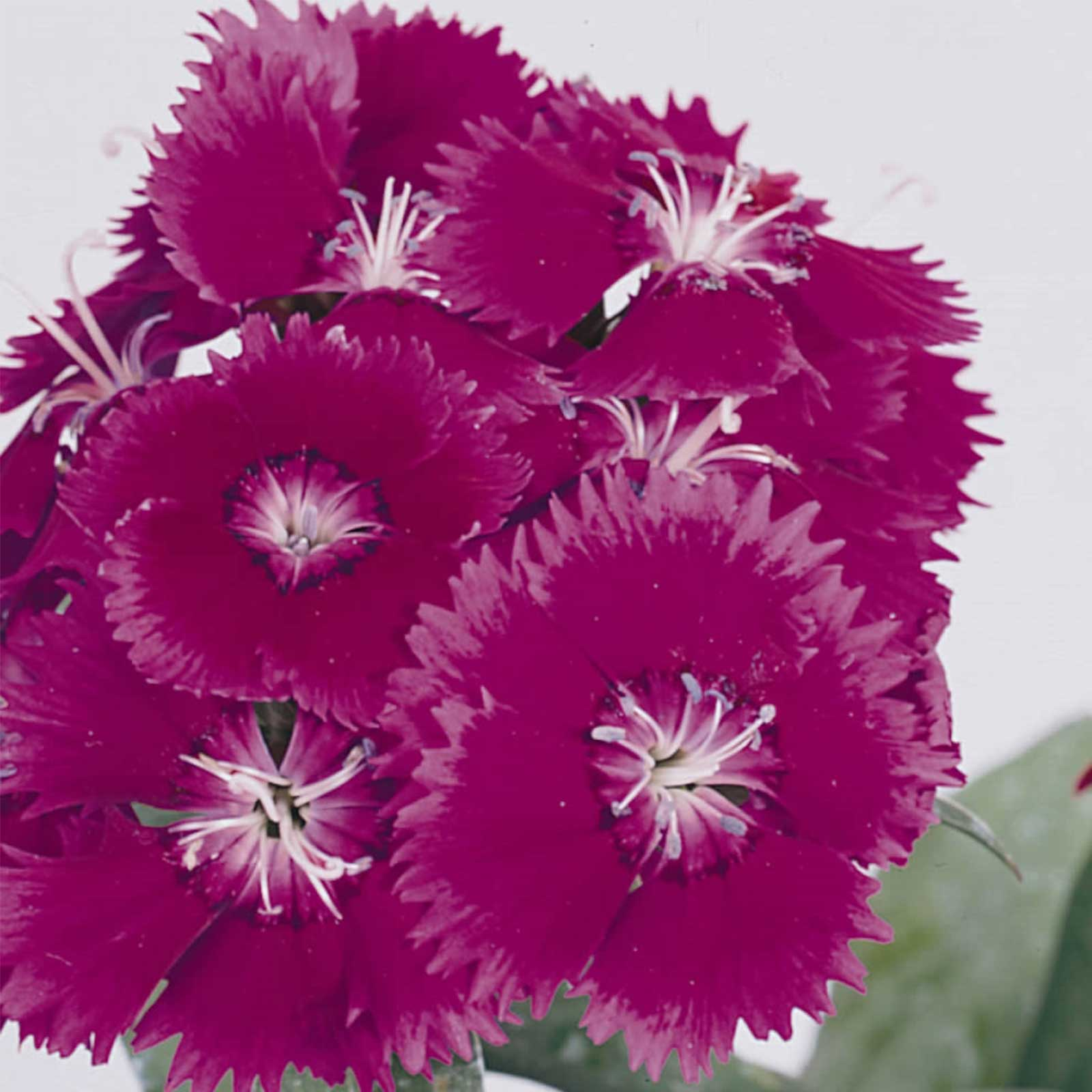 Dianthus Floral Lace Series Flower Seeds - Purple - 500 Seeds - Annual Flower Garden Seeds - Dianthus chinensis x barbatus