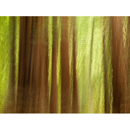 USA, California, Big Sur, Abstract of Redwood Trees at Big Sur Pfeiffer State Park Print Wall Art By Ann Collins