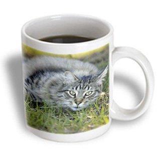 3dRose Maine Coon cat, Central Florida - US10 MPR0328 - Maresa Pryor, Ceramic Mug, 11-ounce