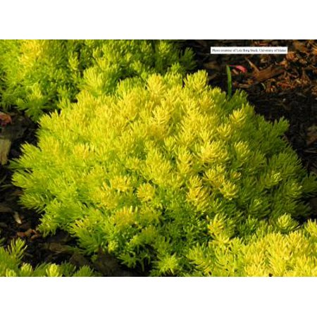 Classy Groundcovers - Lemon Ball Stonecrop Live Forever, Jenny's Stonecrop, Crooked Yellow Sedum, Stone Orpine, Spruce-leaved Stonecrop, Prickmadam {25 Pots - 3 1/2 in.} ()