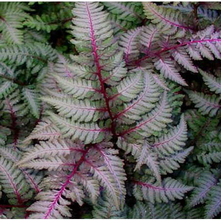 Regal Red Japanese Painted Fern- Athyrium - Shade Lover - Live Plant - 4