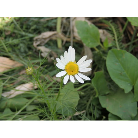 LAMINATED POSTER Closeup Daisy Summer Flowers Chamomile Flower Poster Print 24 x 36