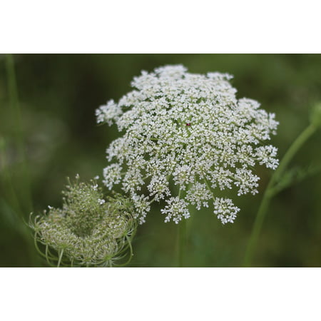 Framed Art for Your Wall Dream Wild Fennel Wild Carrot Princess Anne's Lace 10x13 Frame - Princess Frame