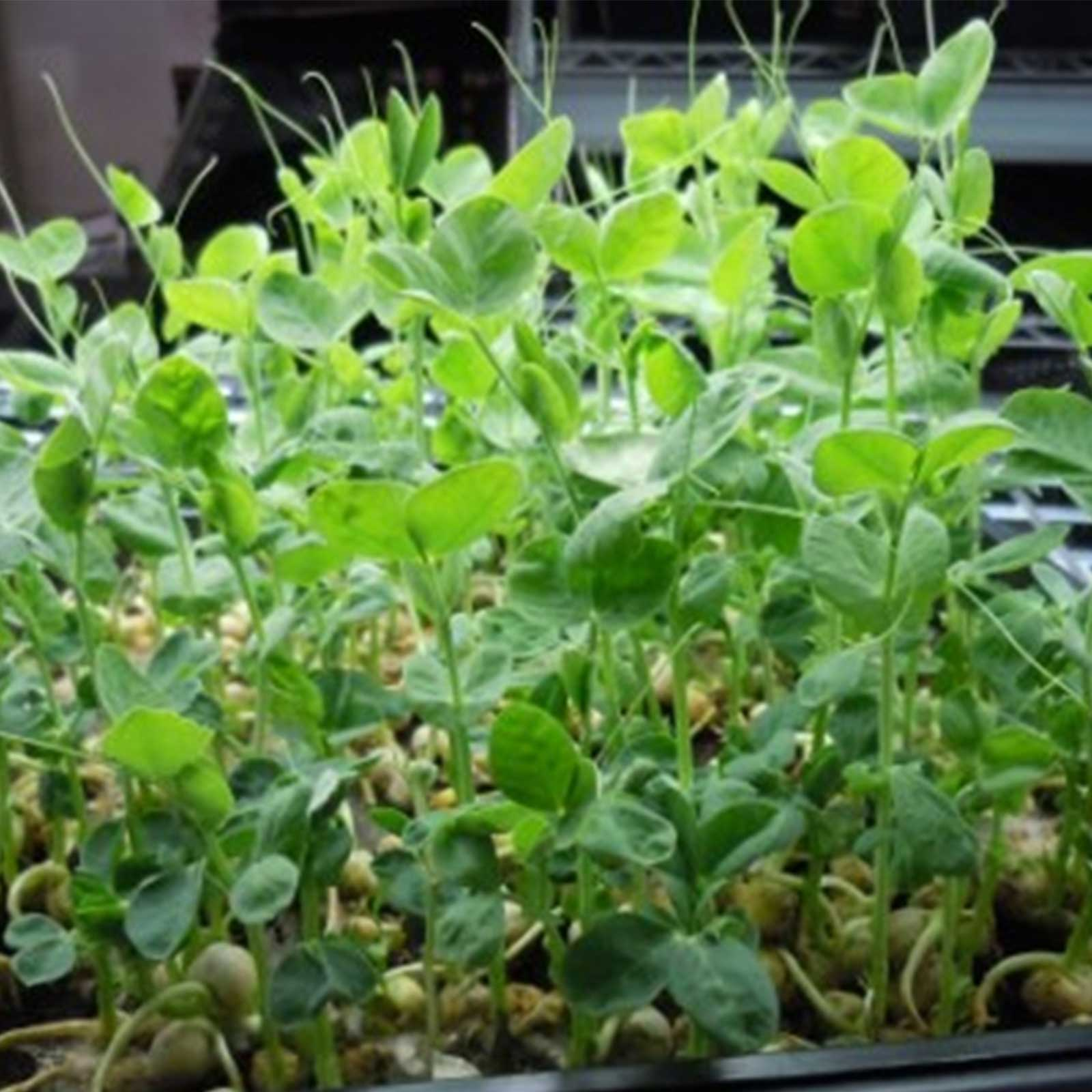 Speckled Pea Sprouting Seeds - 50 Lbs Bulk - Certified Organic, Non-GMO Green Pea Sprout Seeds - Sprouts & Microgreens