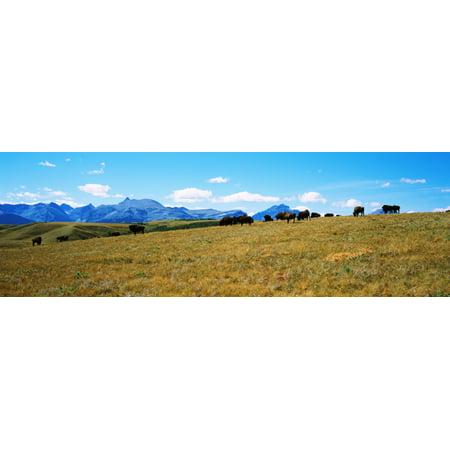 Herd Of American Bison In Blackfeet Indian Reservation Montana Usa Poster Print