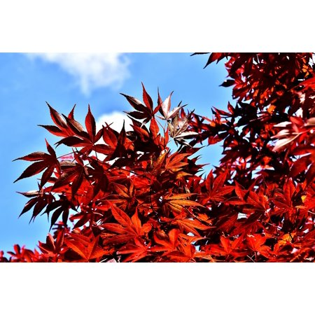 Laminated Poster Garden Leaves Red Japanese Maple Red Maple Bush