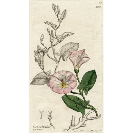 Convolvulus Arvensis-Field Bindweed 1796 Print By James Sowerby (1757-1822) British Botanical Artist From The Book English Botany By Sir James Edward Smith With Illustrations By James SowerbyPublished