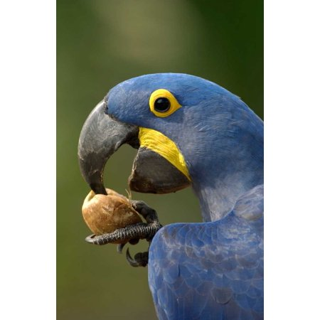 Hyacinth Macaw in Cerrado habitat cracking open a Piassava Palm nut to drink the milk Brazil Poster Print by Pete Oxford