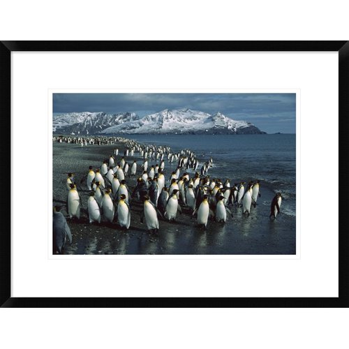 Global Gallery 'King Penguin Colony Along Shoreline' Framed Photographic Print