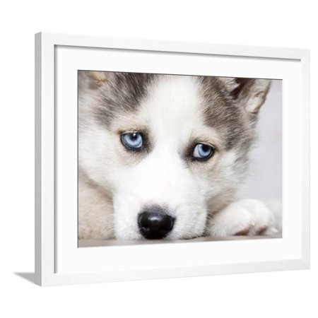 Close Up On Blue Eyes Of Cute Siberian Husky Puppy Framed Print Wall Art By