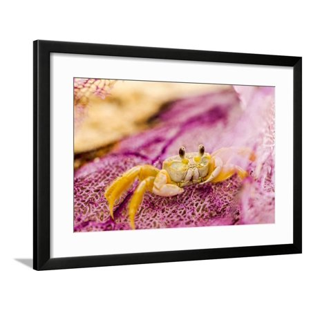 Ghost Crab hiding in washed up sea fan on beach near Fort Jefferson, Dry Tortugas National Park, so Framed Print Wall Art By Stuart Westmorland ()