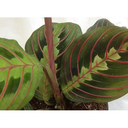 Hirts Red Prayer Plant   Maranta   Easy To Grow House Plant  4  Pot  Live Plant