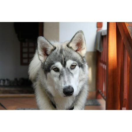 LAMINATED POSTER Dog Husky Puppy Siberian Wolf Animal Poster Print 24 x