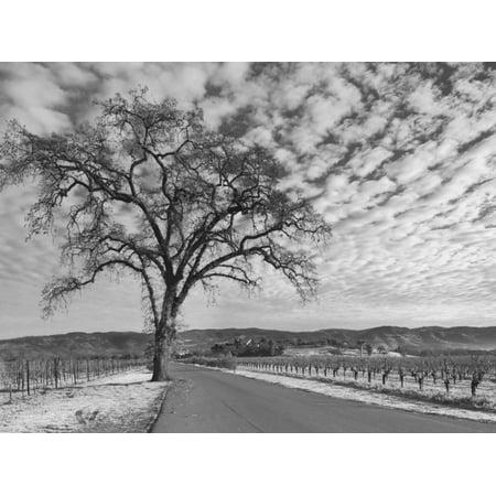 Vineyards in Winter, Napa, Napa Valley Wine Country, Northern California, Usa Print Wall Art By Walter - Napa Valley Northern California Wine