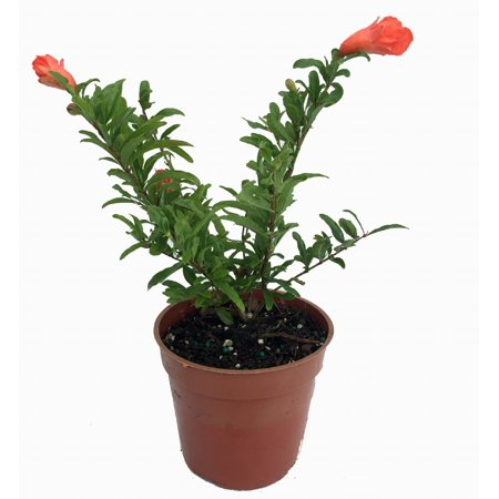 Dwarf Pomegranate Plant - Punica - Bonsai/Houseplant/Outdoors - Edible - 4